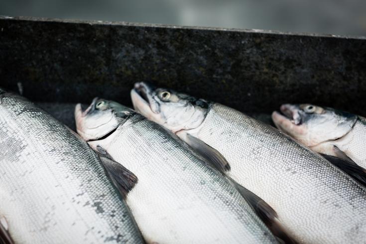 copper river salmon on the docks in cordova alaska