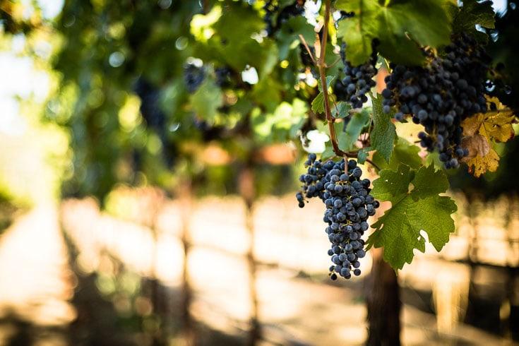 red wine grapes in vinyard napa
